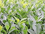 100 Stück Prunus lauroc. 'Caucasica' - (Kirschlorbeer 'Caucasica')- Topfware 15-30 cm