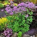 Wiesenraute ( Thalictrum aquilegifolium BLACK STOCKINGS ) von Lichtnelke Pflanzenversand - Du und dein Garten