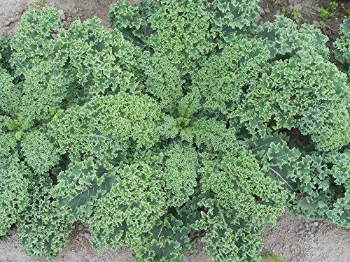 Shoopy Star 50 Pcs japonais Petit persil Graines de semences de qualità de lÃgumes bio