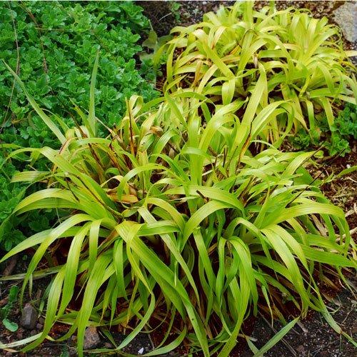 Plant World Seeds - Luzula Sylvatica Solar Flair Seeds