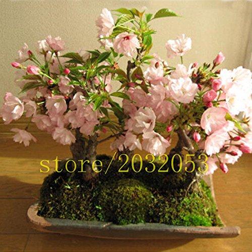 20 PCS sakura graines cerisier fleurs japonais bonsaï de fleurs pour la maison jardin plantation