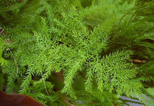 Asklepios-seeds - 25 Samen Asparagus setaceus, Feder-Spargel