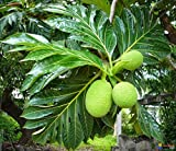 Portal Cool 5Pcs Artocarpus Incisa Semi Tropicale Fiori Frutta Bonsai Piante Decor Garden