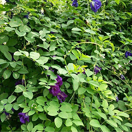 Zoom IMG-3 blue butterfly pea flowers clitoria