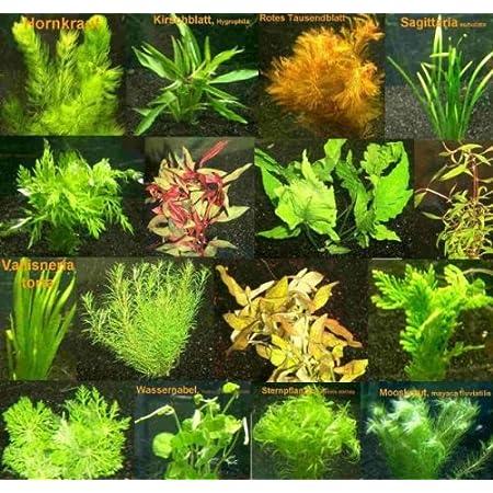 5 Bund – ca. 35 Wasserpflanzen, einfach zu pflegen, algenhemmend, schöne Farben – Mühlan