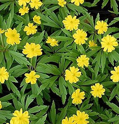 Gelbes Buschwindröschen Semiplena - Anemone ranunculoides von Baumschule auf Du und dein Garten