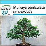 SAFLAX - Set regalo - Naranjo jazmín - 12 semillas - Murraya paniculata syn. exotica