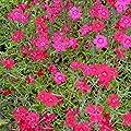 lichtnelke - Heidenelke (Dianthus deltoides 'Leuchtfunk') von Lichtnelke Pflanzenversand bei Du und dein Garten
