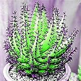 Keptei Samenhaus- 100 Korn Selten Riesen Aloe Vera (Aloe barbadensis) Samen Zierpflanze...