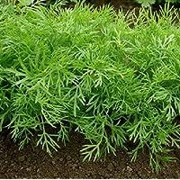 Anethum graveolens colosal eneldo 75+ semillas Permacultura Hierba orgánica