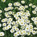 Sperli Blumensamen Wiesen-Gänseblümchen, grün von Sperli - Du und dein Garten