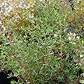 lichtnelke - Gewürz-Thymian ( Thymus vulgaris ) von Lichtnelke Pflanzenversand bei Du und dein Garten