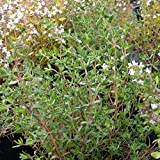 lichtnelke - Gewürz-Thymian ( Thymus vulgaris )