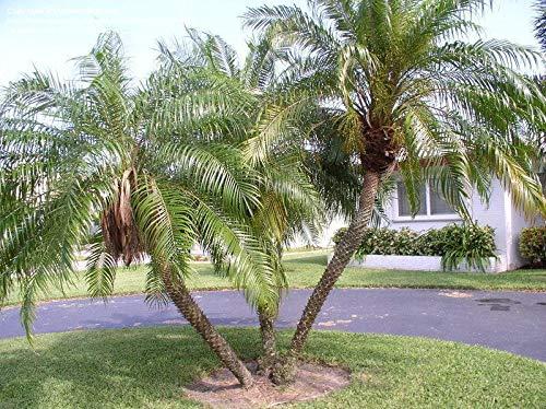Portal Cool 10 Seeds - Rare Pygmy Dattelpalme - Zwerg-Dattelpalme - Tropicals Garten