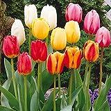 Humphreys Garden Darwin Hybrid Tulip Tulipano Mixed x 30 Bulbs bulbi da fiore