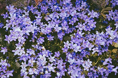 Campanula poscharskyana, Hängepolsterglocke blau 100 Samen, Polsterglockenblume