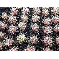 Portal Cool 391. Echinocactus Gru sonii G676 Sherbrooke 20 Seedlins en 1 porción
