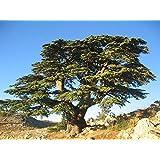 Tree Seeds Online - Cedrus Libani- Cedro De Líbano. 8 Viable Semillas - 10 Paquetes
