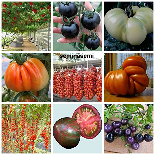 90 graines de tomate dans 9 variétés de substances nutritives rares et riche, COLLECTION 1: 10 POMODORO GIGANTE ITALIANO, 10 CILIEGINO NERO, 10 GIGANTE BIANCO,10 CUOR DI BUE, 10 PIENNELO DEL VESUVIO,10 TOMATO GIANT,10 DATTERINO,10 CIOCCOLATO STRIPES,10 CILIEGINO BLU'