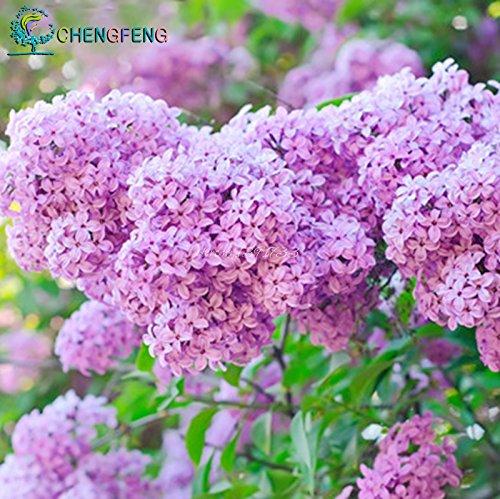 2015 Graines de vente chaude fleurs lilas amour lilas hors clous longs riche jardin fleuri plantation 20.