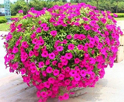 FD1379 1 paquet de 50 graines Trailing Petunia hybrida Fleur Graine Belle Rose