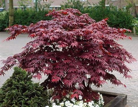 Grüner Garten Shop Érable japonais en pot Rouge 4 à 5l