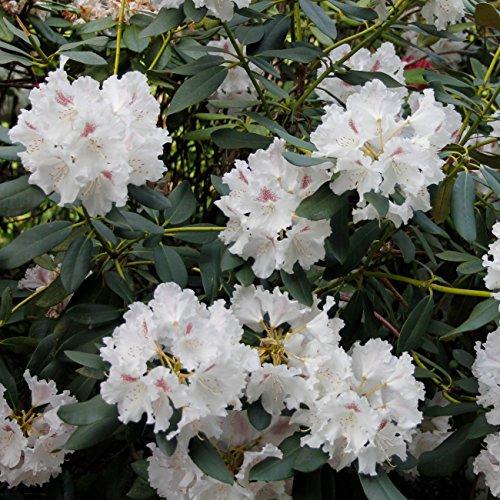 """Dominik Blumen und Pflanzen, Rhododendron """"Cunninghams White"""", 3 Pflanzen, 20 - 30 cm hoch, 2 Liter Container, winterhart, plus 1 Paar Handschuhe gratis"""
