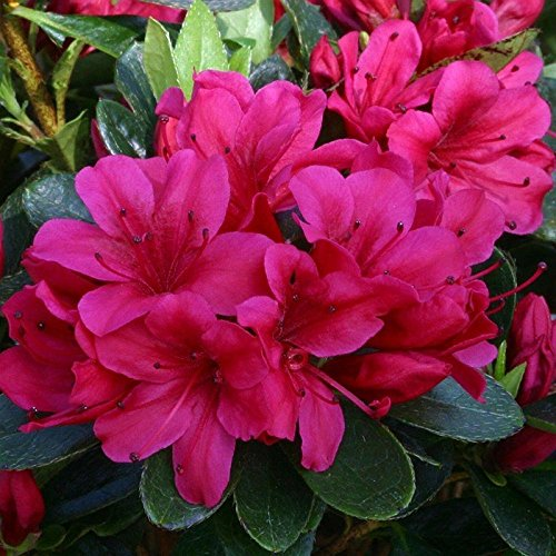 dwarf-evergreen-japanese-azalea-geisha-red-noriko-hardy-garden-plant-grown-in-a-9cm-pot