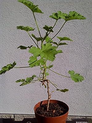 Duftgeranie Attar of Roses 30cm Geranie Duftpelargonie Pelargonie Rose Pflanze