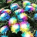 20 Teile / beutel Regenbogen Chrysantheme Samen, Bunte Miniatur Baum Blume Pflanzensamen Blumen Hausgarten Einfach Wachsen Blumensamen von Woopower - Du und dein Garten