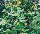 Best Yacon Syrups - Organic Seeds: 5 Tubers: Individu Yacon Storage Tubers-Peruvian Review