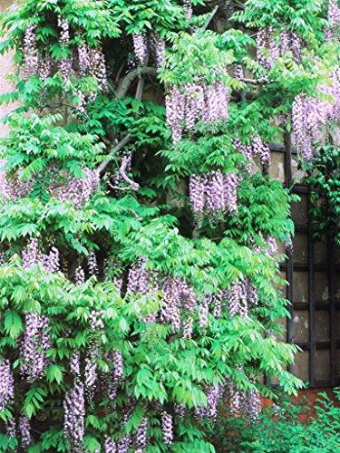Pianta vera rampicante rara pianta del glicine -wisteria- esemplare Ø 20 cm - h 240 cm