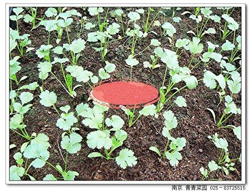 100 graines / paquet carvi Graines graines du jardin potager de légumes