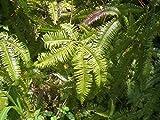 Dicranopteris dichotoma - Farn - 100 Samen