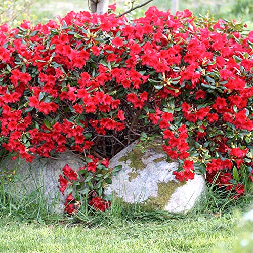 Portal Cool Samen Paket: 1 X Rhododron 'Ba-Ba' Evergreen chiger St Hardy Garten im Topf