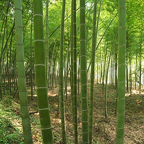 sundautumn-100-pcs-graines-de-bambou-geant