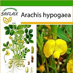 SAFLAX - Erdnuß - 8 Samen - Mit Substrat - Arachis hypogaea