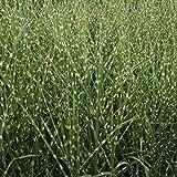 Foerster-Staude Chinaschilf Strictus im 3er-Set Sichtschutz Staude Sonne Miscanthus sinensis im 0,5 Liter Topf 3 Pflanzen