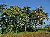 Portal Cool 600 Seeds: ailanto (Ailanthus altissima) - 250/600 Seeds + regalo