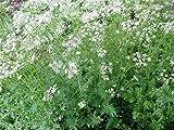Portal Cool Semillas de comino Cuminum cyminum raras Seeds culinarias de la hierba Plant Especias 100 semillas/Bolsa