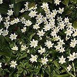Blumixx Stauden Anemone nemorosa - Buschwindröschen, im 0,5 Liter Topf, weiß blühend