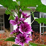 Malva sylvestris * Zebrina Malve * 60+ Seeds * Zebra Striped Stockmalven