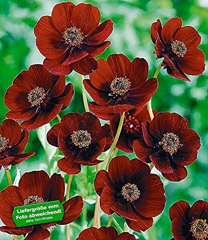 BALDUR-Garten Schokoladen-Blume, 2 Pflanzen Cosmos atrosanguineus