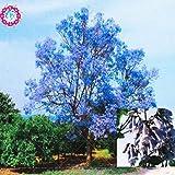 100 / bag rari semi Paulownia rosa (albero principessa o albero imperatrice) piante perenni ourdoor semi di fiori piante giardino di casa pot 3