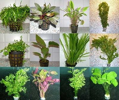 5 Töpfe + 5 Bund Wasserpflanzen, Aquarienpflanzen von aquariumpflanzen.net auf Du und dein Garten