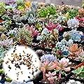 BigFamily 400 stücke Mixed Sukkulenten Samen Seltene Lebende Steine Pflanzen Kaktus DIY Hausgarten von BigFamily - Du und dein Garten