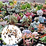 Rosepoem 400 Stücke Sukkulenten Samen Mix Kaktus Lithops Zierpflanzen Samen Hausgarten Pflanzen