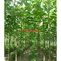 Paulownia elongata nuevas semillas de árboles forestales, 200seeds / árbol paquete de rápido crecimiento
