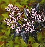 Schwarzer Holunder Black Beauty 60-80cm - Sambucus nigra