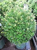 Ilex crenata Jelena (Twiggy) - japanische Stechpalme Jelena, Syn. Twiggy - Bergilex - Preis nach Größe 20-25 cm